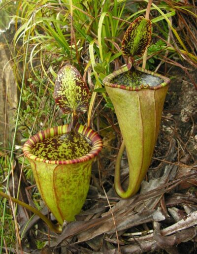 Nepenthes The Tropical Pitcher Plants (1)