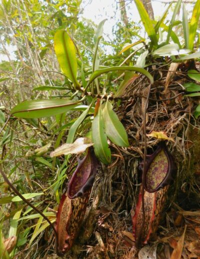 Nepenthes The Tropical Pitcher Plants (10)