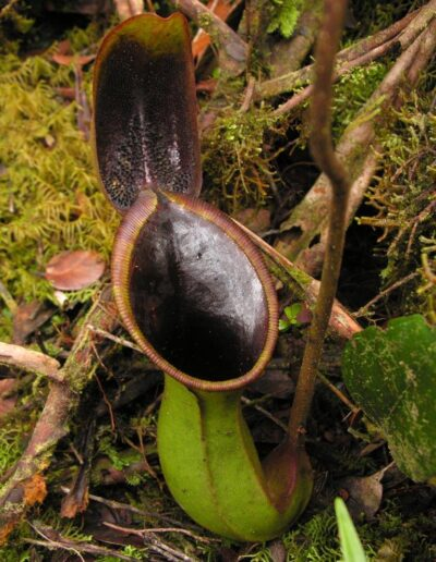 Nepenthes The Tropical Pitcher Plants (14)