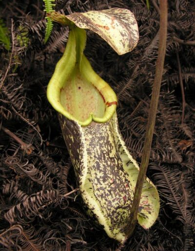 Nepenthes The Tropical Pitcher Plants (15)
