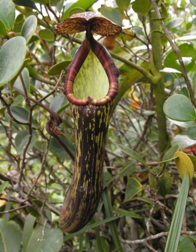 Nepenthes The Tropical Pitcher Plants (16)