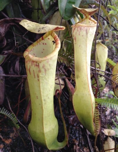 Nepenthes The Tropical Pitcher Plants (17)