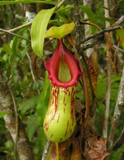 Nepenthes The Tropical Pitcher Plants (2)