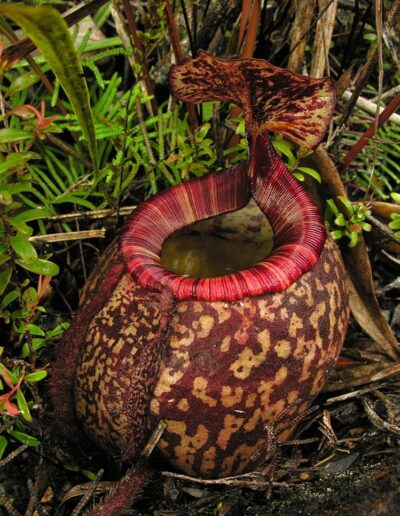 Nepenthes The Tropical Pitcher Plants (3)