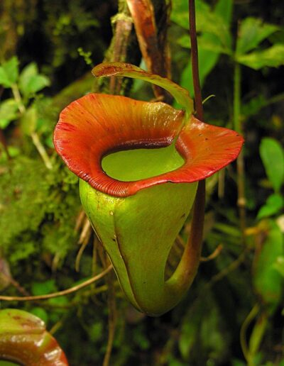 Nepenthes The Tropical Pitcher Plants (5)