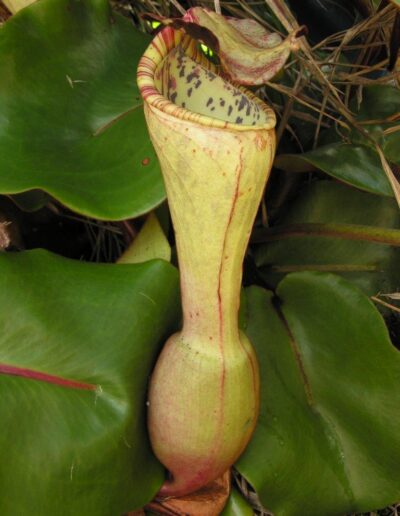 Nepenthes The Tropical Pitcher Plants (7)