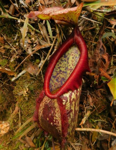 Nepenthes The Tropical Pitcher Plants (9)