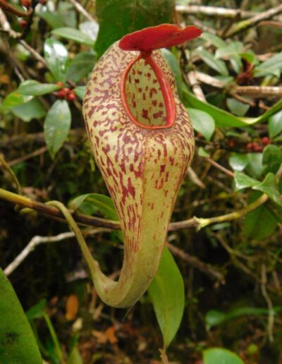 New Nepenthes Vol. 2 (1)