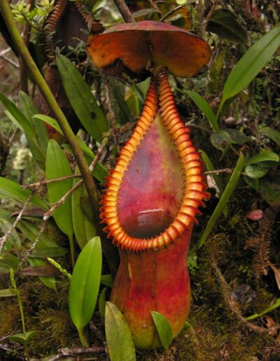 New Nepenthes Vol. 2 (10)