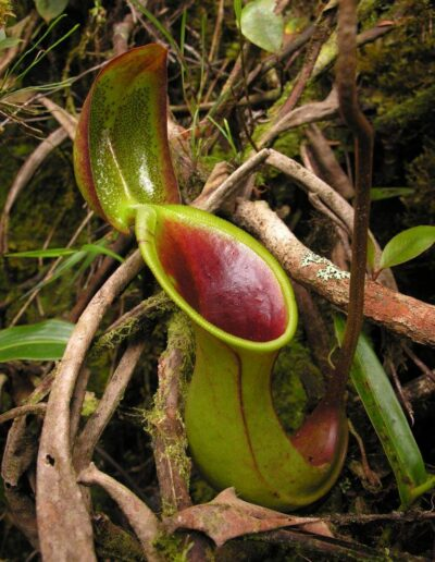 New Nepenthes Vol. 2 (11)