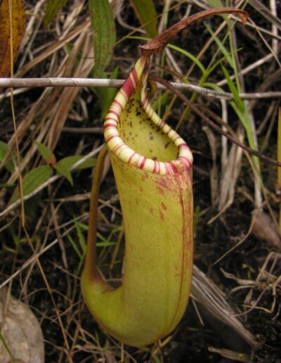 New Nepenthes Vol. 2 (12)