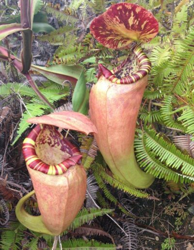 New Nepenthes Vol. 2 (18)