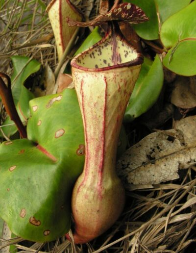 New Nepenthes Vol. 2 (2)