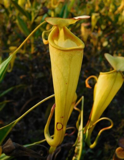 New Nepenthes Vol. 2 (9)