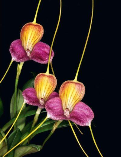 A Compendium of Miniature Orchid Species (1)