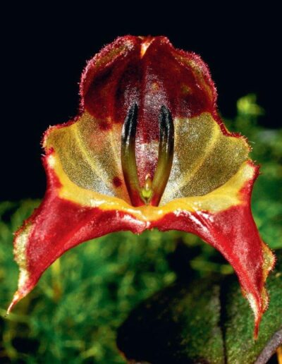 A Compendium of Miniature Orchid Species (10)
