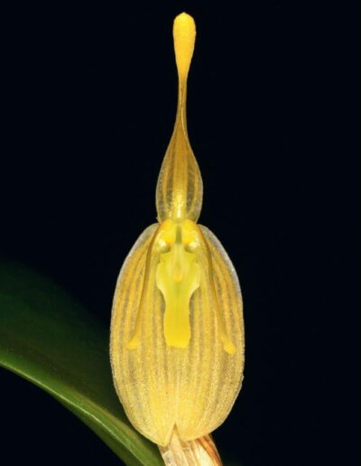 A Compendium of Miniature Orchid Species (15)