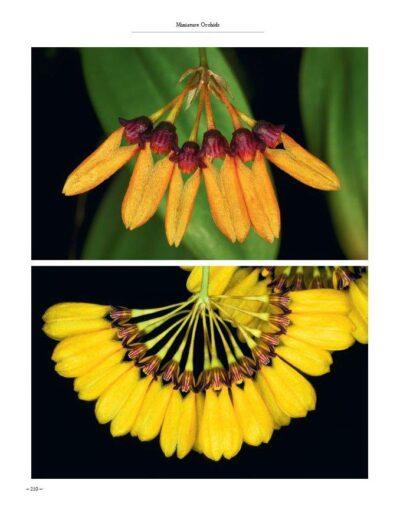 A Compendium of Miniature Orchid Species (17)