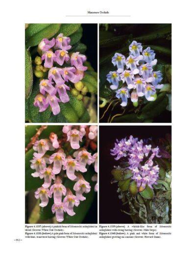 A Compendium of Miniature Orchid Species (18)