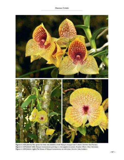 A Compendium of Miniature Orchid Species (20)