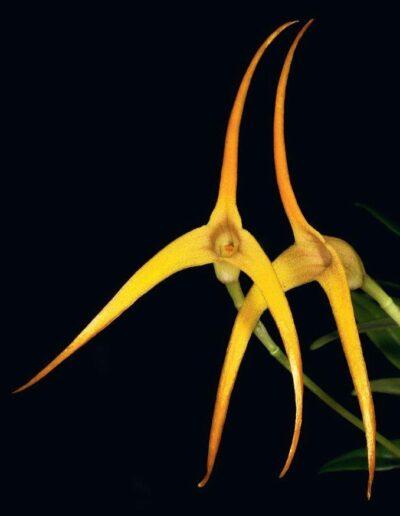 A Compendium of Miniature Orchid Species (3)