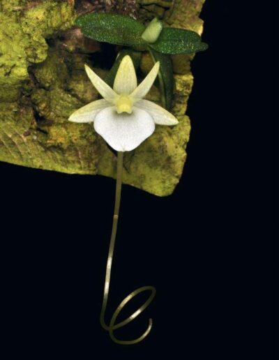 A Compendium of Miniature Orchid Species (5)