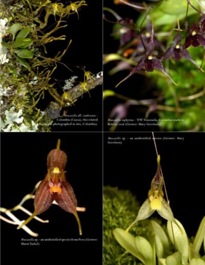 A Compendium of Miniature Orchid Species - Second Edition (10)
