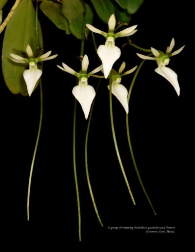 A Compendium of Miniature Orchid Species - Second Edition (12)