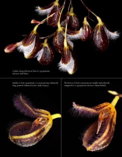 A Compendium of Miniature Orchid Species - Second Edition (17)