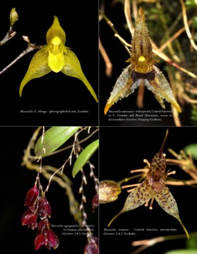 A Compendium of Miniature Orchid Species - Second Edition (9)